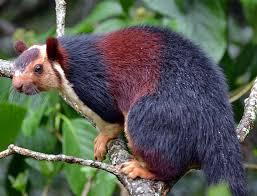 Indian Gaint Squirrel