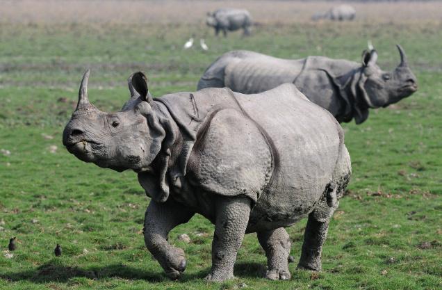 One - Horned Rhino